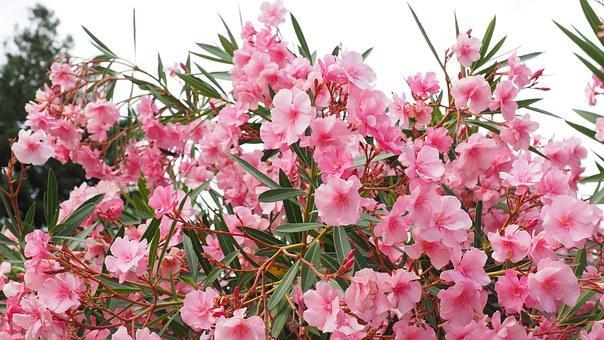 oleander-1521526__340